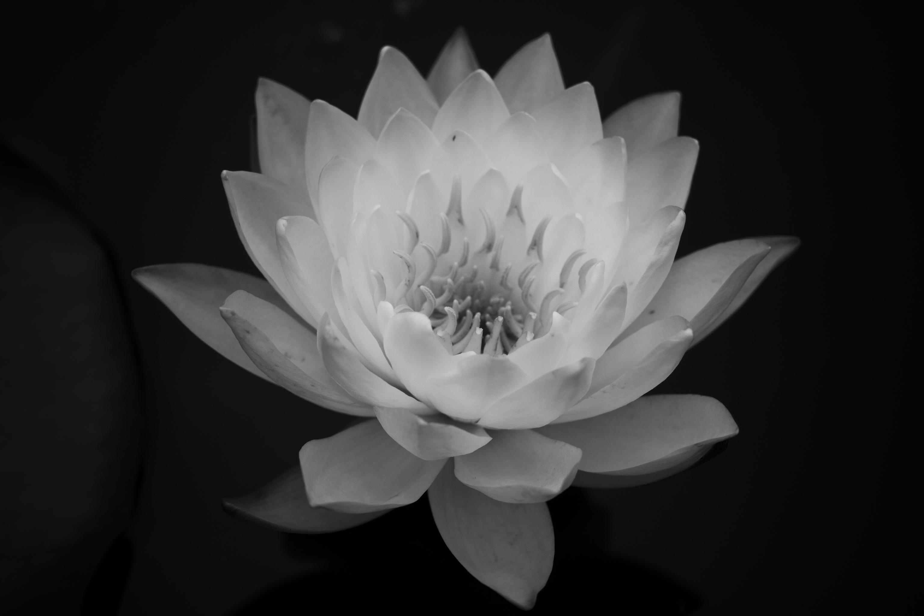 White lotus braden piper photography white lotus izmirmasajfo