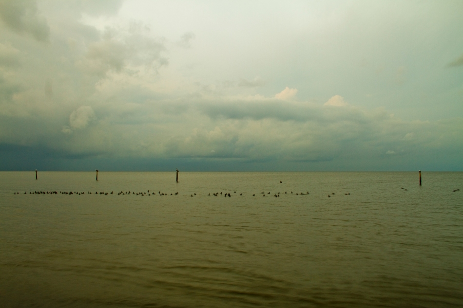 Pelicans perch on posts while ducks swim in a large flock in Lake Pontchartrain, Lakeshore/Lake Vista, New Orleans, Louisiana