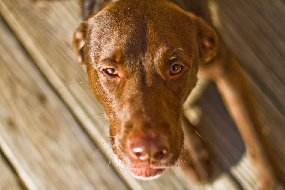 A brown dog (chocolate lab pit bull mix) looking into the camera