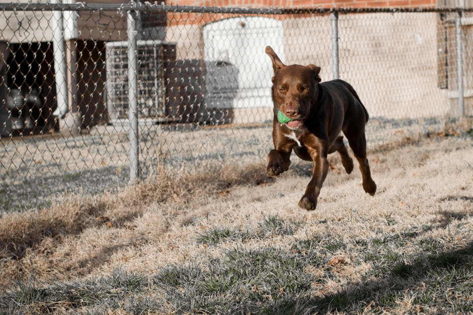 A brown dog (chocolate lab pit bull mix) leaping in mid-air with a tennis ball in his mouth