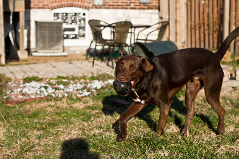 A brown dog (chocolate lab pit bull mix) playing with a ball