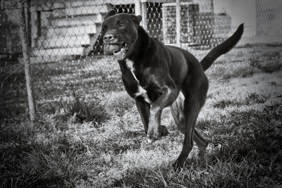 A brown labrador pit-bull dog jumps appearing to stand on two legs while chasing a ball