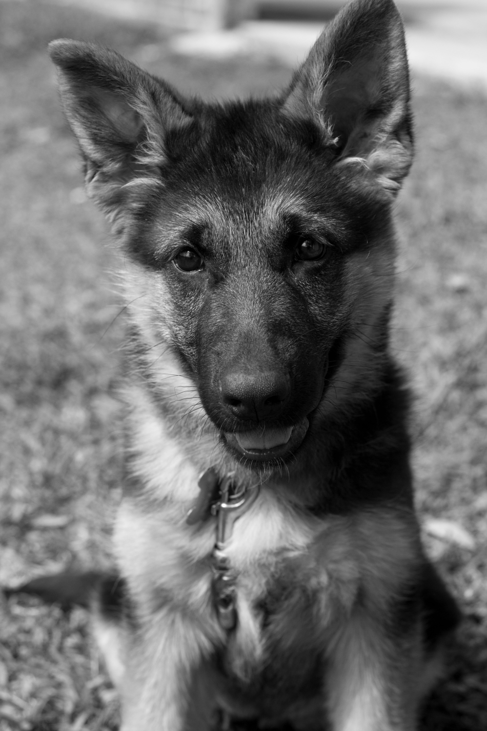 A Female German Shepherd Puppy in black & white