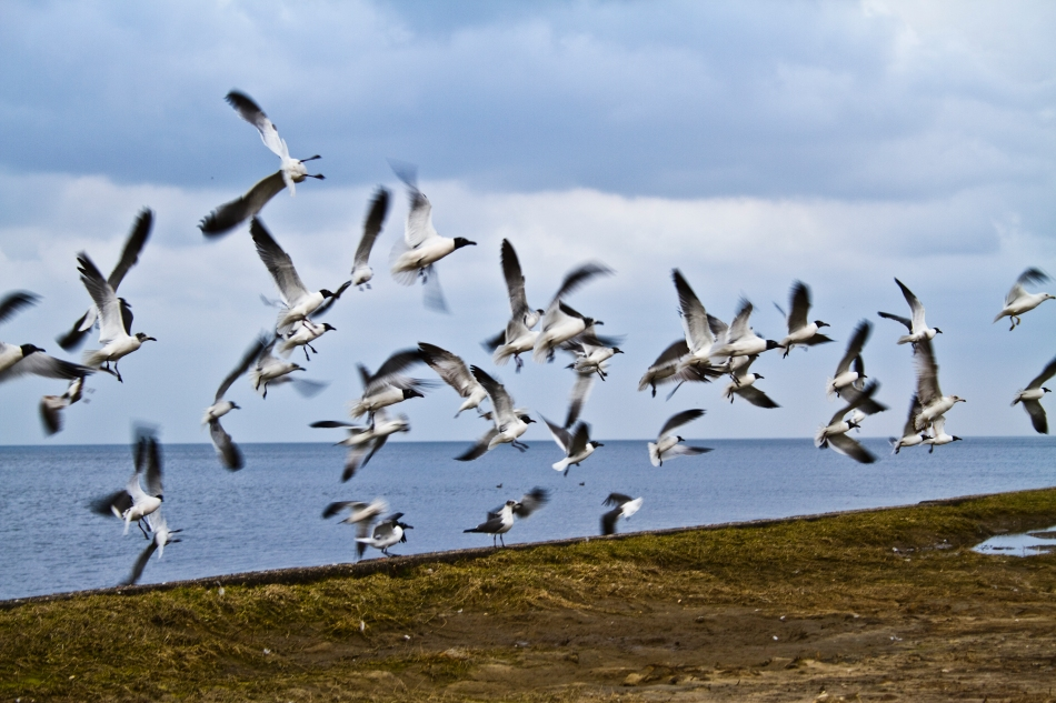 Seagulls taking flight on Lake Ponchartrain in New Orleans, LA.
