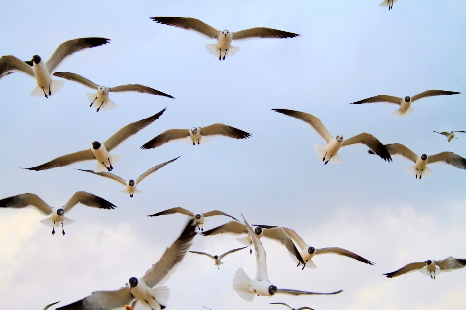 Seagulls flying in New Orleans, LA near Lake Ponchartrain