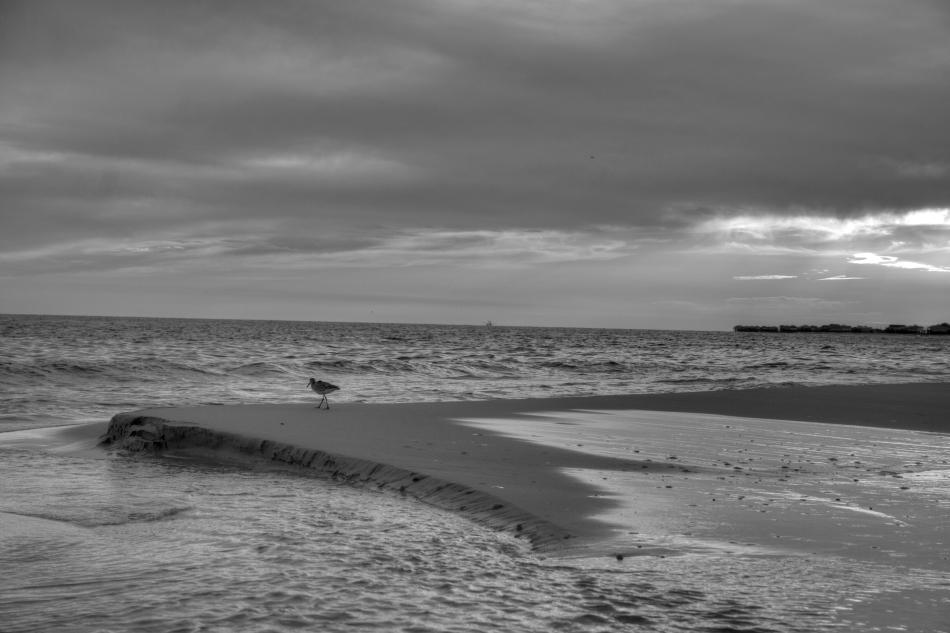 A lone seabird standing on the beach of Dauphin Island, AL