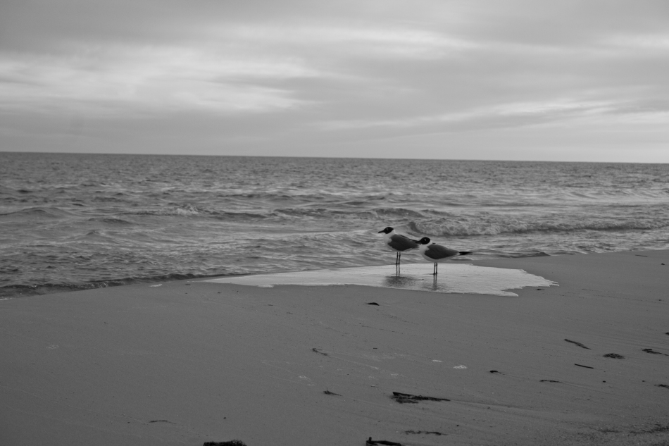 Two seagulls standing on the beach in Dauphin Island, AL