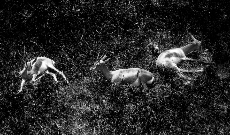 A group of three young impalas lounge in the sun at the St. Louis Zoo.