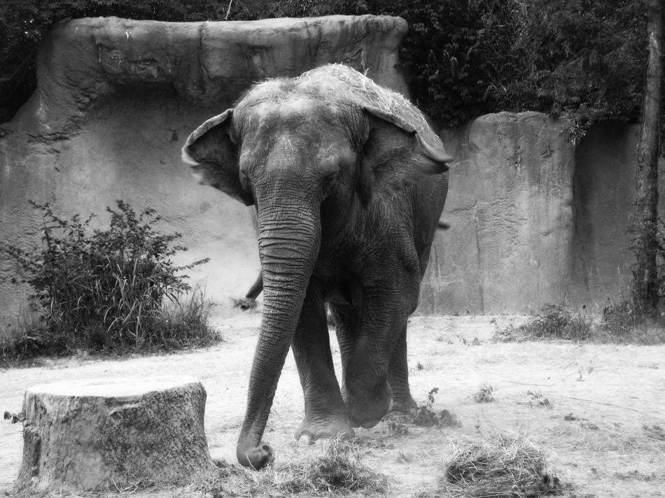 An Elephant walking in the St. Louis Zoo.