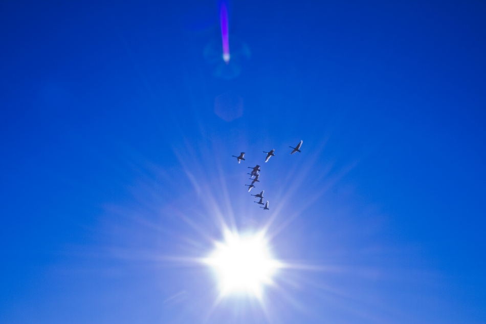 A gaggle of Canadian Snow Geese migrate South while passing in front of the sun.