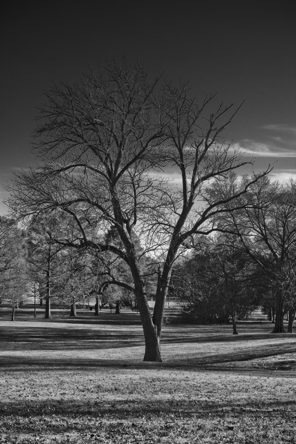 A black and white image of a tree in Francis Park in South St. Louis, MO. Photo by Braden Piper bgpiperphotography.com