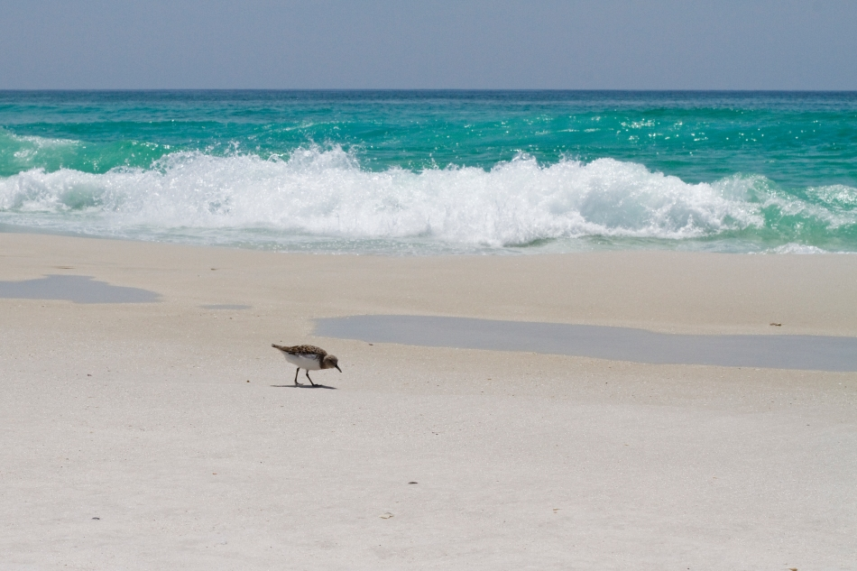An image of a small seabird in front of waves of the Gulf of Mexico on Navarre Beach in Florida. Photo by Braden Piper bgpiperphotography.com