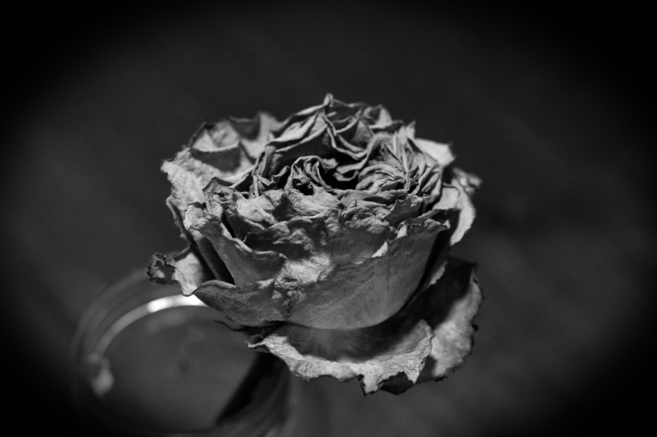 A black and white image of a withered flower